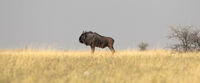 Blue wildebeast is the Makgadikgadi