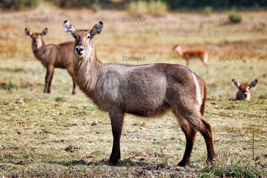 Wasserbock, Liwonde Nationalpark, Malawi, (Kobus ellipsiprymnus) | Waterbuck, Liwonde NP, Malawi, (Kobus ellipsiprymnus)