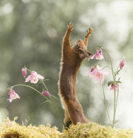 red squirrel towards the sky between columbine