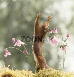 red squirrel towards the sky between columbine