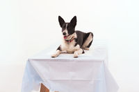 Dog on isolated white background.