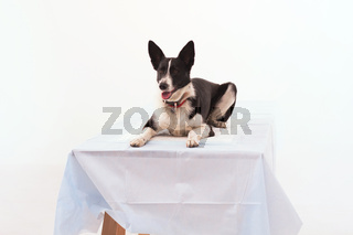 Dog on isolated white background.