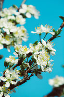 a blooming cherry tree branch