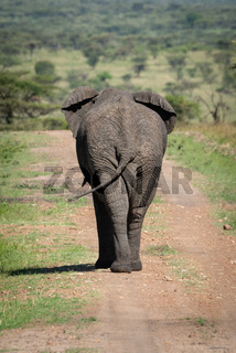 African bush elephant on track from behind