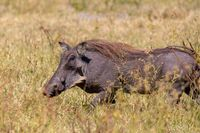 Warthog in Chobe reserve, Botswana safari wildlife