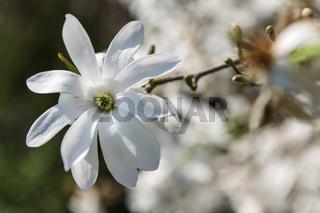 Magnolia stellata white_Sternmagnolie