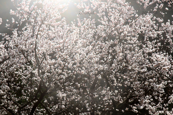 Blooming apple and apricot orchards in the Lesser Himalayas