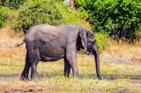 Watering in the Okavango