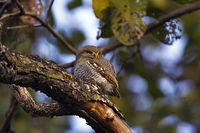Jungle owlet, Glaucidium radiatum, Kanha Tiger Reserve, Madhya Pradesh, India