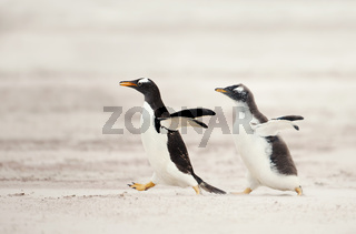 Gentoo penguin chick chasing its parent to be fed
