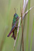 Gemeinsame grüne Heuschrecke (Omocestus viridulus)