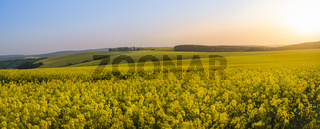 Panorama of rapeseed fields at sunset