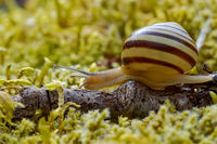 Snail slowly creeping along super macro close-up