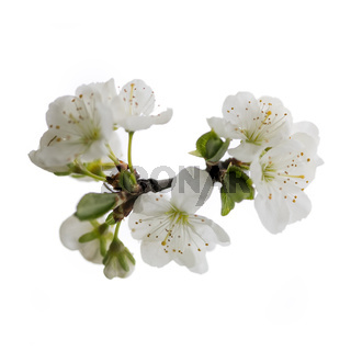 plum flowers on white backgroound