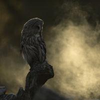 mystisch... Bartkauz * Strix nebulosa *