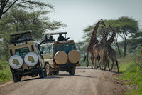 Masai giraffe seen by tourists in jeeps
