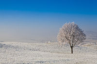 Snow and hoarfrost covered trees in the frosty morning.