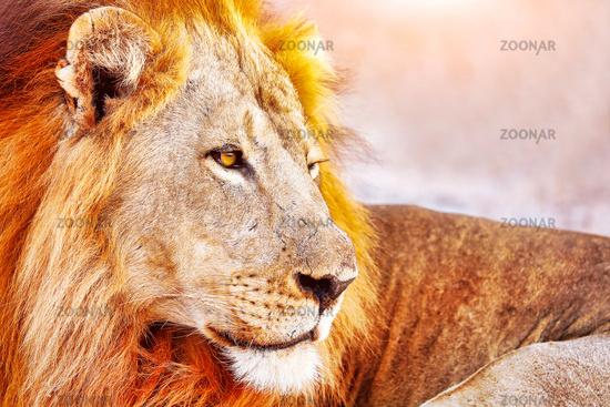 Loewe, maennlich, South Luangwa NP, Sambia, (Panthera leo)    lion, male, South Luangwa NP, Zambia, (Panthera leo)