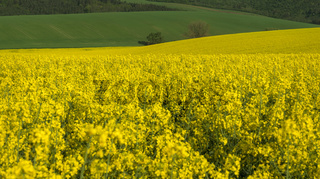 Yellow rapeseed field and green hills