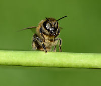 Biene, Pollenhoeschen, Apis, mellifera