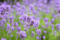 lavender field in the summer, close-up violet colors background concept