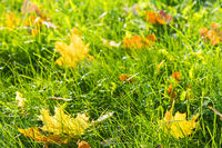 grass turns yellow on the lawns and yellow leaves fall