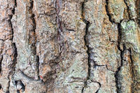 wrinkly bark on mature trunk of oak tree close up