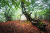 Dreamy autumn forest in fog. Mystical foggy trees