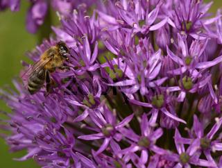 Biene auf Riesen-Lauch, Allium giganteum, giant allium, giant onion