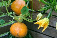 Hokaido pumpkin plant as nice garden background