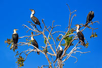 Gruppe Weissbrustkormorane, Liwonde Nationalpark, Malawi, (Phalacrocorax lucidus) | Group of White-breasted Cormorants, Liwonde National Park, Malawi, (Phalacrocorax lucidus)