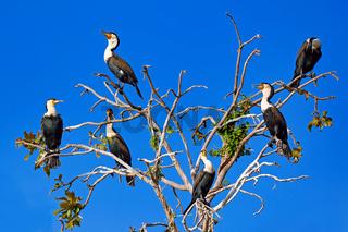 Gruppe Weissbrustkormorane, Liwonde Nationalpark, Malawi, (Phalacrocorax lucidus) | Group of White-breasted Cormorants, Liwonde National Park, Malawi, (Phalacrocorax lucidus)