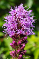 Prairie gay feather (Liatris spicata)