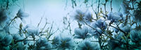 Beautiful blossoming magnolia flowers in sundawn light backlit, shallow depth. Soft dark blue vintage toned. Greeting card banner template. Nature panorama background. Copy space