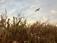 Airplane departing over dry cornfield