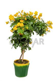 Cassia Corymbosa oder Senna Bäumchen, freisteller