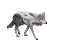 Double exposure of wolf and pine forest