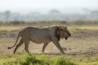 African Male lion, Panthera leo, Amboseli, Kenya, Africa.