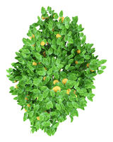 grapefruit tree with grapefruits isolated on white background. top view