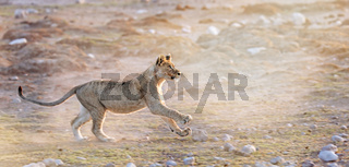 Jagender Loewe, Etosha-Nationalpark, Namibia, (Panthera leo) | hunting lion, Etosha National Park, Namibia, (Panthera leo)