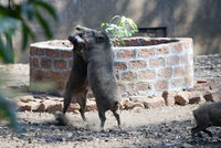 two wild boars in the fight