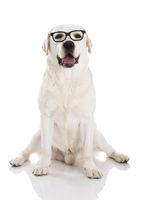 Labrador with glasses