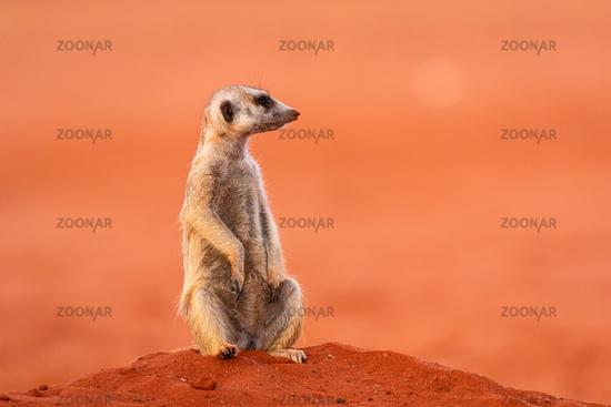 Erdmaennchen (Suricata suricatta), Erdmännchen in Namibia