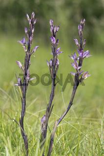 Violetter Dingel (Limodorum abortivum), Schweiz
