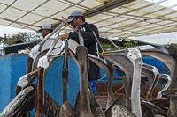 Hungrige Braune Pelikane hoffen auf Futter auf dem  Fischmarkt in Puerto Ayora, Galapagos