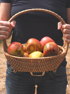 Woman holding a basket with organic apples