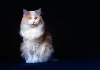 Ginger White Cat isolated over black background.