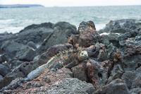 Meerechse Amblyrhynchus cristatus albemarlensis, Insel Isabela, Galapagos Inseln, Ecuador