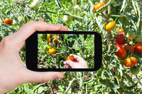 hand picks a little tomato from a bush in garden
