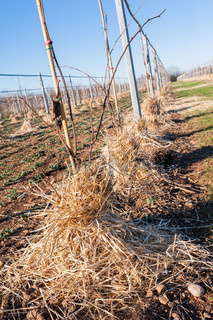 Mulching the roots of young trees of Kiwy with straw.